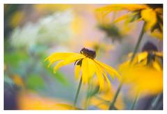 Black-eyed Susan (leo.roos) Tags: yellow geel rudbeckiafulgida rudbeckia gelezonnehoed coneflower blackeyedsusan swirly meyerkinonsuperiorf5cm meyerkinonsuperior5016 projectorlens projectionlens focusinghelicoidtrioplan10028 exakta darosa leoroos