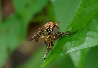 Robberfly --- Blepharepium annulatum