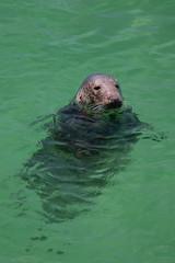 Cornish Seal (lee dawe photography) Tags: seal grey gray wildlife sealife conservation sealion cornwall westcountry kernow stives