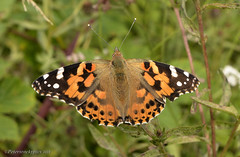 Painted Lady (petersrockypics) Tags: vanessacardui paintedlady ukbutterflies butterfly butterflies nikond5200 nikon insects nature naturalcolours