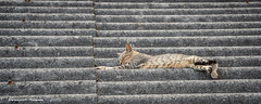 Feline siesta (Ignacio Ferre) Tags: gato gatocomún cat pet mascota felidae felino felid felines feliscatus felids feline mammal mamífero animal nikon siesta españa spain tejado roof