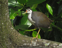 White-breasted Waterhen (Nikita Hengbok) Tags: wildbirdsofsingapore birdsofsingapore birdphotography avianphotography fauna animals birds avian nature animalsofsingapore wildlifeofsingapore birdphotos birdpics wildlifephotos wildlifepics wildlifephotography naturephotography