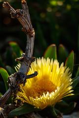 Sunny (as shot by Mrs.) (Ivona & Eli) Tags: mediterranean plants foliage nature stick flower macro