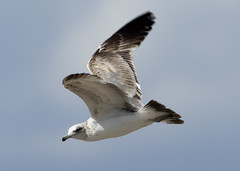 Gull_9568 (Mike Head - Jetwashphotos) Tags: gull flying coast socal southerncalifornia ca us usa america