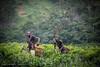 Tea plantation, Uganda, East Africa, June 2017 (Catherine Gidzinska and Simon Gidzinski) Tags: 2017 africa eastafrica june uganda teaplantation tea working people men villagers workers picking mountains hills kisoro