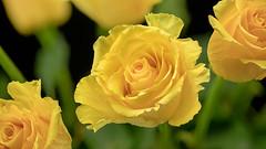 Three (Ragnar II) Tags: flowers focusstack yellow rose