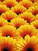 Zonnetjes (Shahrazad26) Tags: komindekas westland zuidholland nederland thenetherlands tuinbouw gerbera bloemen flowers blumen fleurs geel yellow jaune gelb paysbas holland