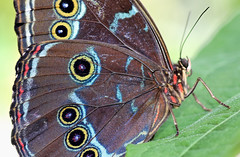 Blue Morpho Eyespots (dianne_stankiewicz) Tags: macro circles hmm macromondays butterfly bluemorpho leaf nature wildlife insect texture wings