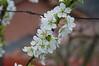 Prunus domestica Santa Rosa (douneika) Tags: prunus domestica santa rosa rosaceae
