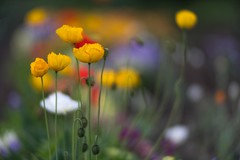 _DSC0595a (kymarto) Tags: bokeh bokehlicious bokehphotography dof depthoffield flowers flowerphotography nature naturephotography beauty beautiful sony sonyphotography sonya7r2 oldlens vintagelens poppies yellow