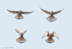 Hovering four. ( Explored.) (nondesigner59) Tags: kestrel falcotinnunculus hovering hunting birdofprey kes nature wildlife copyrightmmee eos7dmkii nondesigner nd59