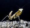 Sphodromantis lineola-1 (Furcifer pardalis) Tags: mantis bug mante religieuse mantereligieuse sphodromantis sphodromantislineola lineola insecte insect