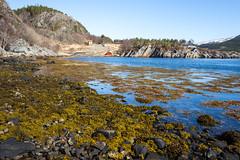 The spring has come to Norway! (harald.bohn) Tags: spring vår fosen fjord pevika trøndelag rissa sea shore tang sun sunshine solskinn sol blue sky blå himmel gult gras yelleow frass