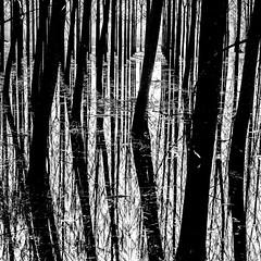 Flood.jpg (Klaus Ressmann) Tags: klaus ressmann omd em1 abstract fcharente nature spring blackandwhite contrast design flcabsnat flood squareformat trees klausressmann omdem1