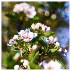 Pear blossom (mechanicalArts) Tags: trioplan 50mm 29 birne baum blüte pear
