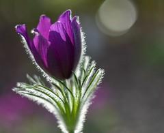Pulsatilla (agnieszka.a.morawska) Tags: beyondbokeh bokeh bokehlicious bkhq flower garden wiosna spring helios44m nikon helios pulsatilla sasanka