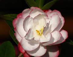 Camellia Close Up (Dennisbon) Tags: dennisbon canon eos 7d melbourne australia flower closeup one oneflower nopeople backyard outdoor bloom colour potplant camellia