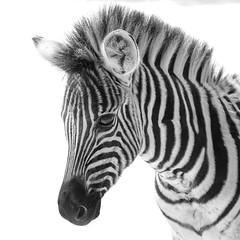 george junior bw (renaud5962) Tags: zebra bw southafrica dinokeng blackandwhite zebre noiretblanc africa animals pentax 100mm younganimals gauteng pentaxk70 wildlife stripes black white face afriquedusud cute smc pentaxd fa macro f28 wr nature mammals smcpentaxdfamacro100mmf28wr
