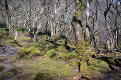 Gnarly woods (Howie Mudge LRPS BPE1*) Tags: landscape nature ngc nationalgeographic woods woodland forest gnarly gnarlytrees light shade shadows bright sunny day travel outside outdoors greatoutdoors grass leaves moss april spring 2018 dolgochwoods walkabout gwynedd wales cymru uk sony sonya7ii sonyalphagang sonyilca77m2 minolta 58mm mc rokkor f14 pfadapted lensadapted glassvintage lensvintage glass