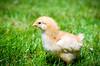 Baby Chickens-5 (sammycj2a) Tags: chick chickens backyardfarm farm chicks pullets straightrun backyard nikon nikkor lightroom