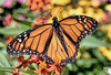 Classic Open-Wing Monarch (Vidterry) Tags: butterfly monarch openwings butterflyweed nikond4s nikkor105mmmicro 11250thf22