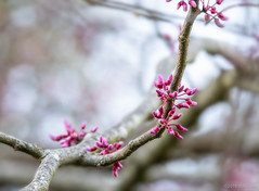 spring-redbud-2018-BobGross (bgdesign2016) Tags:
