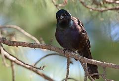 Common Grackle (JDA-Wildlife) Tags: birds nikon nikond7100 tamronsp150600mmf563divc jdawildlife johnny portrait closeup eyecontact centralparknycny gracklecommon