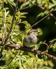 Sparrow (Mal.Durbin Photography) Tags: forestfarm maldurbin wildlifephotography wildlife birds