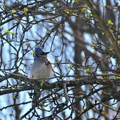 Blue Jay (PhotonPirate) Tags: bird spring buds blue jay cyanocitta cristata upstateny cortland homerny