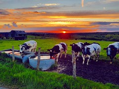 Another beautiful sunset in my village (Ben Heine) Tags: benheinephotography photography composition light smartphone nature landscape beauty beautiful photo photographie art ifttt instagram benheine horizon benheineart c sunset countryside campagne cows cow farm rochefort lessive eprave soleil sun