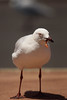 Silver Gull with an oral fistula (Chroicocephalus novaehollandiae) (Jan Ranson) Tags: 2018 australia sharkbay silvergull chroicocephalusnovaehollandiae oralfistula