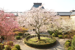 Sakura trees in the garden (Teruhide Tomori) Tags: しだれ桜 京都 日本 春 桜 京都府庁 建物 cherry sakura tree spring kyoto japan japon architecture building construction bloom blossom