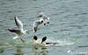 Bagarre pour un bout de pain :-)  1 (jean-daniel david) Tags: oiseau oiseaudeau mouette mouetterieuse harlebièvre lac lacdeneuchâtel yverdonlesbains eau vol canard bagarre voltige pain