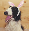 Easter Grin (Proper Photography) Tags: easter holiday holidayportrait dog dogphotography petography petphotography petportrait cute adorable puppy smile happy smilingdog grin bunnyears photography properphotography noellebabinski 2018 march2018 easter2018 puppers doggo canon canon5dmarkii canon50mm18 50mm 50mmlens 50mm18