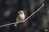 Portrait de Pinson des arbres (mkerguelenmagrin) Tags: ariège commonchaffinch ddo fringillacoelebs fringillidés mazères passériformes pinsondesarbres bird mâle oiseau