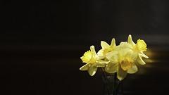 Amarillo Brillante (Renate Bomm) Tags: renatebomm smileonsaturday 7dwf crazytuesdaytheme fe70300mmf4556goss osterglocken sonyilce6000 flores flor blumen contrast minimalism negativespace