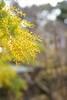 Bud of mimosa in Shukkeien garden,Hiroshima city 2018/03 No.1. (HIDE@Verdad) Tags: lzosindustar61lzmc50mmf28 pentaxistds pentax istds industar61 russian