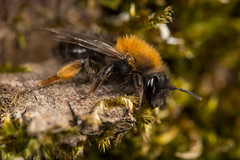 Mining Bee (Andrena clarkella, f) (The LakeSide) Tags: insect macro bee biesbosch netherlands nikon r1c1 d7100 andrena clarkelle mining