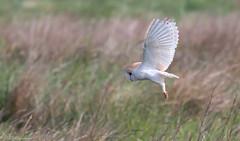 Barn Owl (Steve (Hooky) Waddingham) Tags: animal countryside coast nature northumberland bird british barn mice morning voles flight hunt prey photography wild wildlife