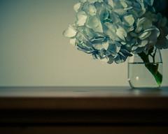 Hydrangea Dreams (HW111) Tags: flowers hydrangea poem poetry