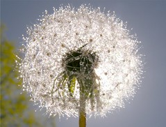 Wet Sunny Dandelion (Stanley Zimny (Thank You for 29 Million views)) Tags: sun flower dandelion macro white water drops
