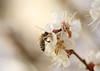 Blossom temptation (Baubec Izzet) Tags: baubecizzet pentax bokeh blossom flower spring nature macrodreams flickrunitedaward