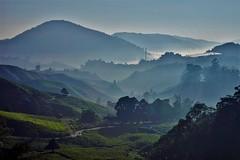 Cameron Highlands - Boh Tea Plantation 13 (luco*) Tags: malaisie malaysia cameron highlands boh tea plantation thé collines hills montagnes matin morning brume paysage landscape arbres trees