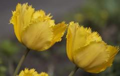 Gele gekartelde tulp (Yellow tulip) (ToJoLa) Tags: canon canoneos60d eindhoven lente voorjaar spring philipsfruittuin kleuren tulpen yellow geel tulipa