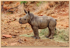 Everyday is Rhino Day... (Johann (Sasolburg, RSA.)) Tags: rhino renoster makemesmile johanndejager ef70300mmf456isusm canoneos60d simplysuperb ngc coth5