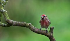 Lesser Redpoll (Margaret S.S) Tags: lesser redpoll finch male