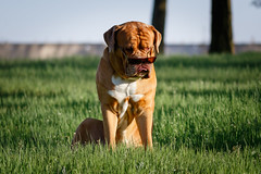 SHA_1638 (andreyshkvarchuk) Tags: dog doguedebordeaux 7d2 mastiff animal
