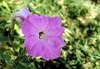 Natural Beauty (Khaled M. K. HEGAZY) Tags: nikon coolpix p520 sharmelsheikh gafyresort egypt nature outdoor closeup macro petunia stamen pistil plant flower petal bud leaf leaves foliage garden green white violet pink purple