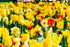Yellow and reds (Brian Out and About) Tags: nikon d5200 ©brianblair2018 keukenhof netherlands travel europe tulips grandfather