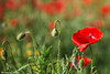 papaveri - poppies (albygent Alberto Gentile) Tags: poppies papaveri red rosso natura campagna country canon6d